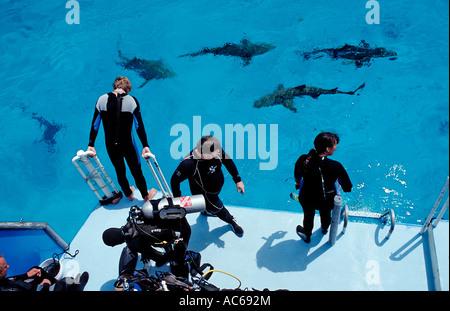 Requins citrons sur la surface et la plongée autonome Negaprion brevirostris Bahamas Océan Atlantique Banque D'Images