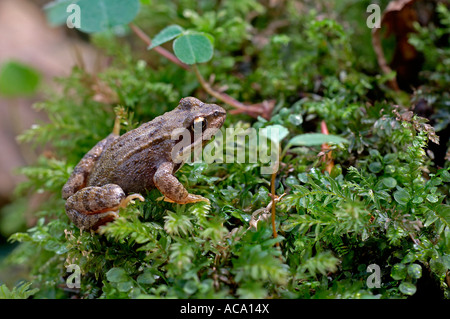Frog, Rana arvalis Banque D'Images