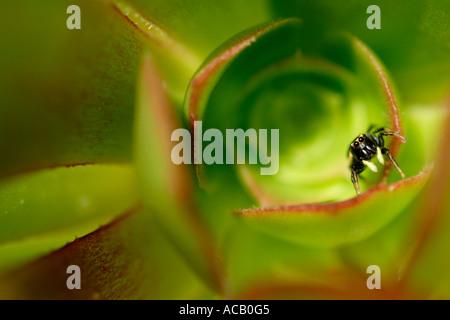 Araignée zèbre sur une feuille d'Aeonium Banque D'Images