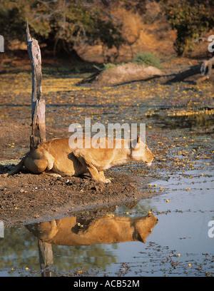Lionne et de réflexion à une piscine dans le parc national de South Luangwa en Zambie