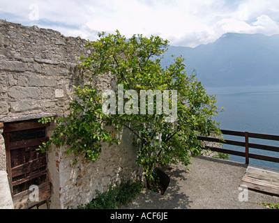 La production d'arbres de citron contre une vieille maison à Limone haut au-dessus du lac de Garde Italie Banque D'Images