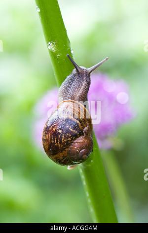 Cornu aspersum. Escargot ramper jusqu'à la tige d'une fleur d'un jardin anglais Banque D'Images