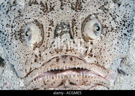 Un stargazer, ainsi nommé pour sa tendance à se cacher dans le stand directement regarder vers le haut. Il poissons Banque D'Images