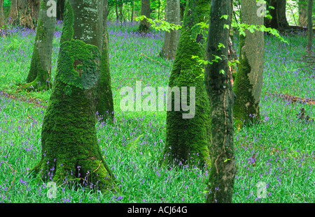 Printemps jacinthes et troncs d'arbres couverts de mousse dans un bois de hêtre dans le Parc National de Killarney. Banque D'Images