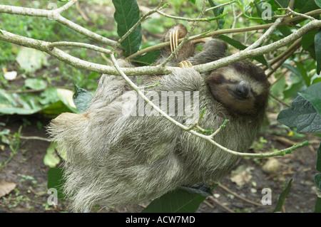 Un des trois sloth dans un arbre près de Puerto Limon, Costa Rica Banque D'Images
