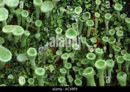 Lichen vert pâle croissant sur une vieille souche d'arbre mort Banque D'Images