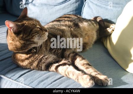 Un Rusty brown tabby cat endormie au soleil de l'après-midi sur un canapé bleu Banque D'Images