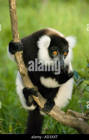 Noir et blanc La Gélinotte Lemur (Le Varecia variegata) Madagascar en danger en captivité Banque D'Images