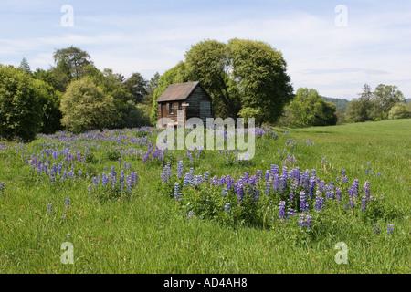 La pêche en rivière, refuge, cabane bothy et naturalisées lupins Balmoral, l'Aberdeenshire, le Parc National de Banque D'Images