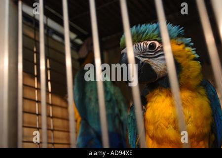 Mis en cage perroquets aras Bleu et or à Hong Kong's marché aux oiseaux à Kowloon, Chine Banque D'Images