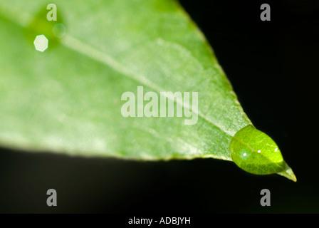 Macro image horizontale d'une goutte d'eau de la pointe d'une feuille verte au soleil. Banque D'Images