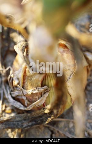 L'oignon dans jardin, extreme close-up Banque D'Images
