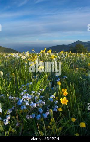 Fleurs sauvages de croître à la Forca Canapine Parc national Monti Sibillini Ombrie Italie NR Banque D'Images