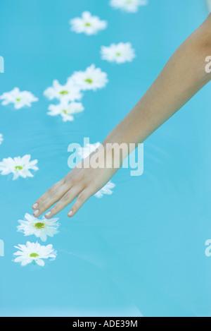 Les marguerites flottant sur l'eau de surface, woman's arm pour atteindre touch flower Banque D'Images