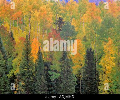 De couleur vert jaune rouge et de peuplier faux-tremble dans un village San Juan Mountains Colorado Banque D'Images
