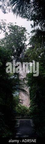 New Zealand North Island 1200 ans Tana Mahuta le plus grand peuplement d'arbres kauri de Nouvelle-Zélande Waipoua Banque D'Images