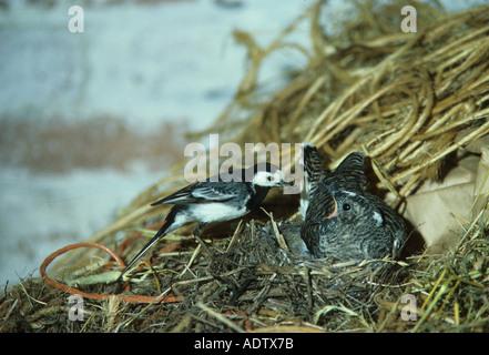 Bergeronnette pie Motacilla alba au nid avec de la nourriture les jeunes exigeant de Coucou