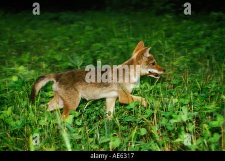 La coyote (Canis latrans) fonctionnant avec un bâton dans la bouche, Midwest USA Banque D'Images