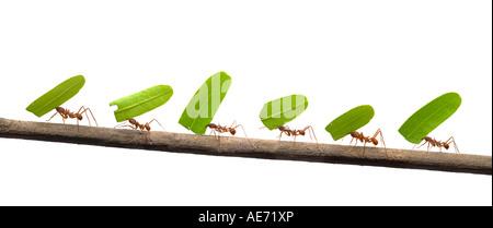 Ligne de fourmis transportant des feuilles Banque D'Images