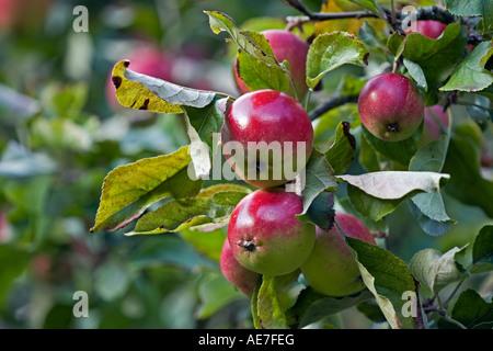 Manger des pommes variété 'Découverte' mûrir sur l'arbre dans un verger Anglais Banque D'Images