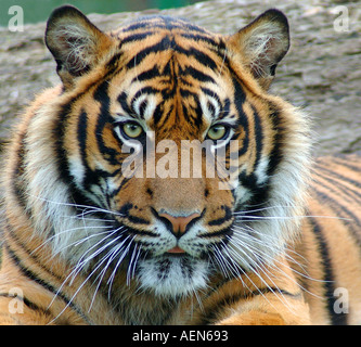 Tigre de Sumatra. Banque D'Images