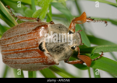 Catégorie: adultes ou bug Melolontha melolontha sur l'herbe