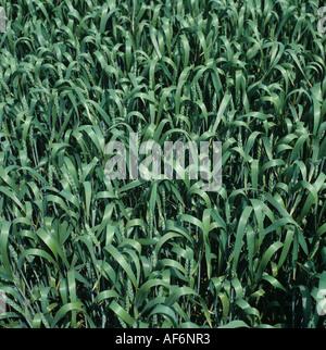 La récolte de blé de même avec les oreilles et émergents dans boot Banque D'Images