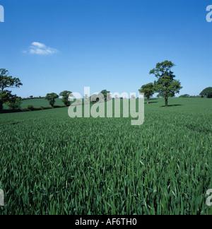 Au stade de la récolte de blé de la feuille étendard au même domaine avec des arbres de chêne Banque D'Images