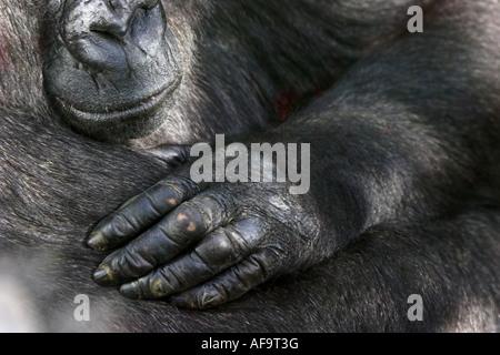 Gorille (Gorilla gorilla gorilla), de la main, Zoologischer Garten Wuppertal Banque D'Images