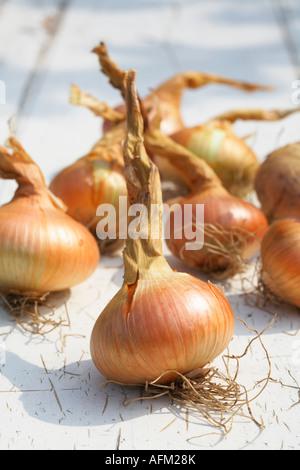 Oignon oignons Stuttgarter variété oignon plat Banque D'Images