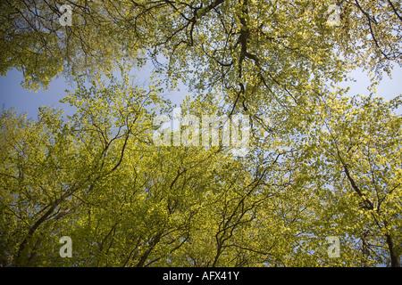 La Suède Sk sw Scania forêt de hêtres au printemps Mai 2006