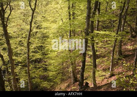 Scania Suède forêt de hêtres au printemps Mai 2006