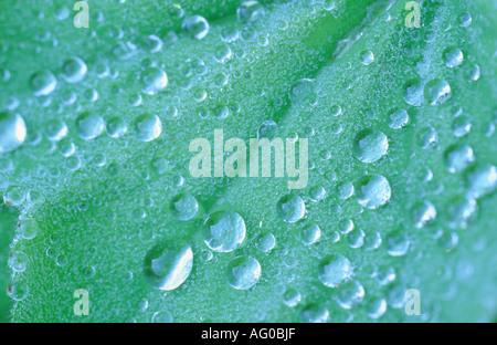 Goutte d'eau sur une feuille verte d'Alchemilla mollis Banque D'Images