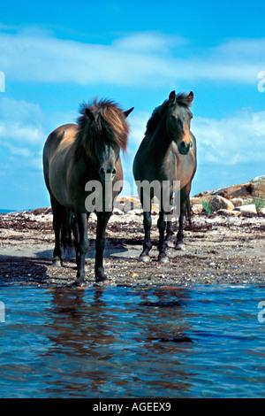 Deux chevaux sauvages dans l'environnement de l'eau