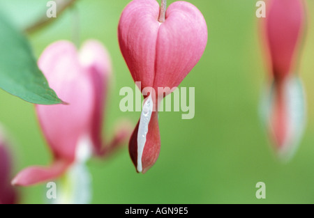 Bleeding Heart hanging from tree, close-up Banque D'Images