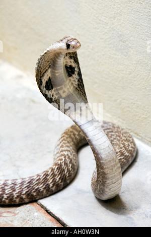 Cobra à lunettes indiennes. L'Inde Banque D'Images