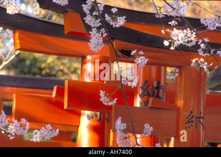 Les fleurs de cerisier ajoutent une touche de printemps à un modèle de torii vermillon culte gates à Kyoto Banque D'Images