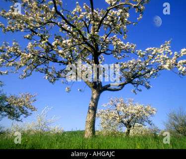 DE - BADE-WURTEMBERG: printemps près de Birnau Banque D'Images