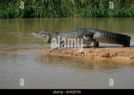 Ours à lunettes CAIMAN Caiman crocodilus Banque D'Images