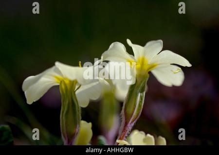 Vrai Français (primrose Primula acaulis, Primula vulgaris), fleurs, Royaume-Uni, Ecosse, Highlands
