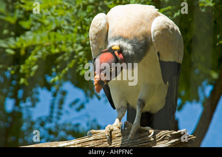 Close up horizontale d'un vautour pape [Sarcoramphus papa] perché sur une branche d'une position agressive classique. Banque D'Images