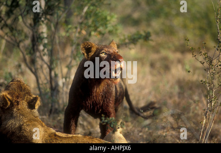 Lion à la recherche jusqu'à regarder un vautour encerclant tout en se nourrissant d'une carcasse de l'Afrique du Banque D'Images