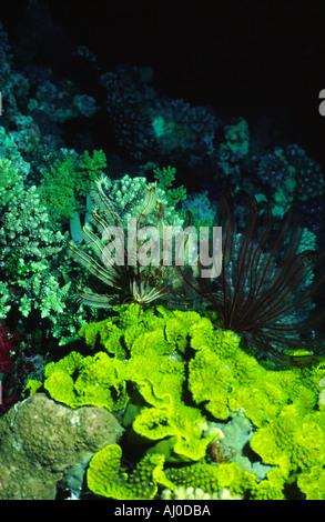 Bannetti Oxycomanthus dans la nature. Banque D'Images