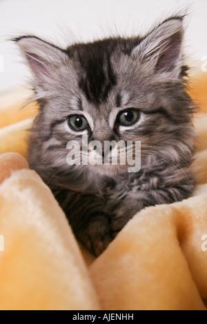 Un chaton de 6 semaines à cajoler dans une couverture jaune Banque D'Images