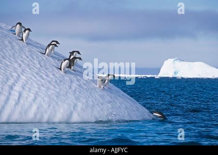 Groupe de manchots adélies marcher vers le bas de la pente sur l'iceberg pour plonger dans l'été antarctique océan