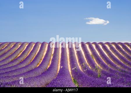 Champ de lavande Provence près de Valensole Haute Provence France Banque D'Images