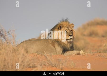 L'AFRICAN LION Panthera leo