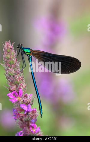 Belle demoiselle Calopteryx virgo mâle sur la salicaire summer Cornwall Banque D'Images