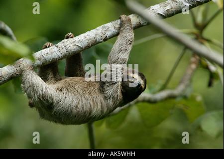 Trois-toed Sloth, Bradypus variegatus, dans les 265 hectares du parc métropolitain de la forêt tropicale, la ville Banque D'Images