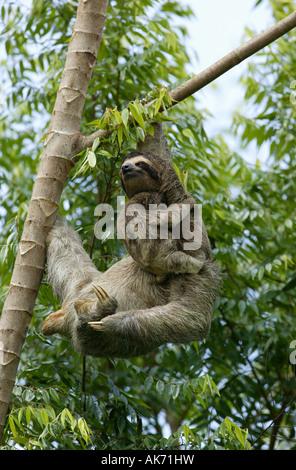 Trois-toed Sloth, mère et son petit dans la forêt près de Lago (lac Gatun), République du Panama. Banque D'Images